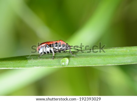 A stink bugs crawling on the grass shoots