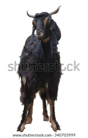 A Stray Goat in India Isolated on White - stock photo