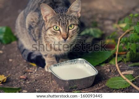 A Street Cat Drinking Milk Outdoors - stock photo