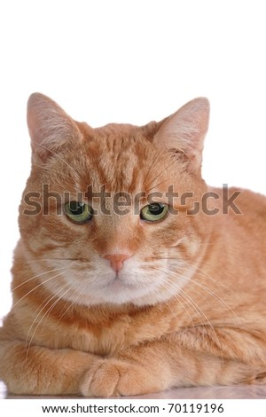 A Striking Portrait of an Fluffy, Orange Tabby Cat with Room for Text Overhead - stock photo