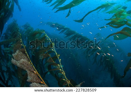 A strong current bends giant kelp as it grows in a thick underwater forest near the Channel Islands in California. Kelp provides an important habitat for many fish and invertebrates. - stock photo
