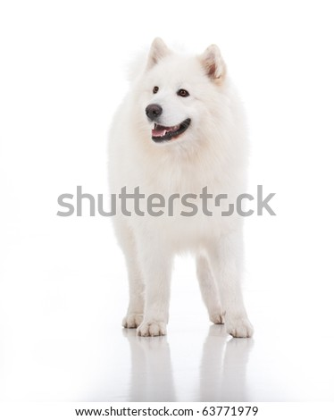 a studio image of a pure white breed dog, standing, looking to the side - stock photo