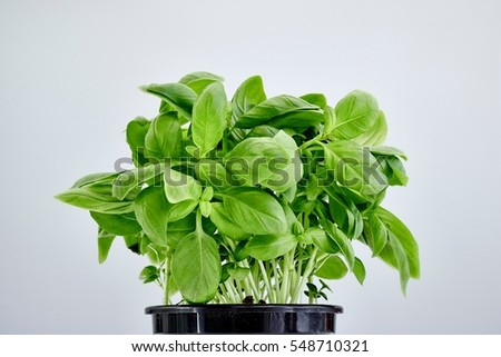 A studio photo of potted basil