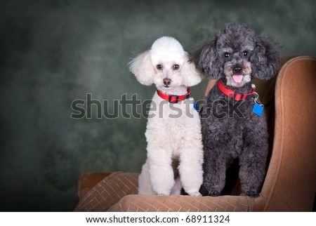 A studio portrait of a black poodle and a white poodle. - stock photo