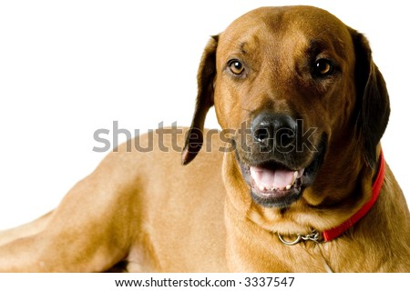 A studio portrait of a rhodesian ridgeback dog on white background