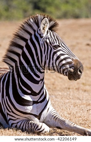 A study of a young zebra - stock photo
