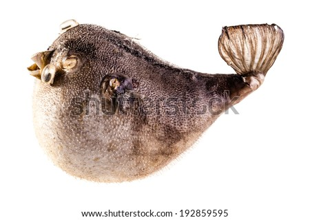 a stuffed puffer fish isolated over a white background - stock photo