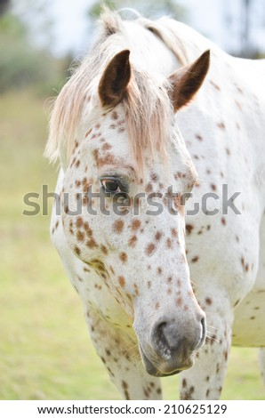 a stunning appaloosa mare portrait with a grassy background - stock photo