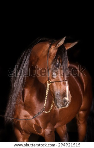 A stunning Arabian horse portrait of a gelding, stallion,colt, on an isolated black background