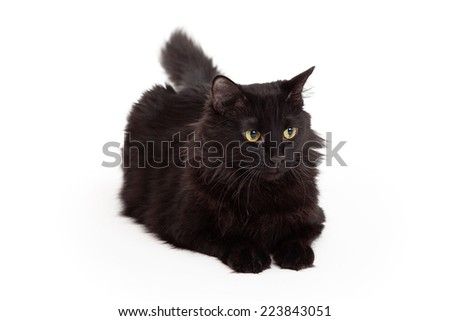A stunning black long haired cat with beautiful eyes is laying with outstretched paws and looking forward