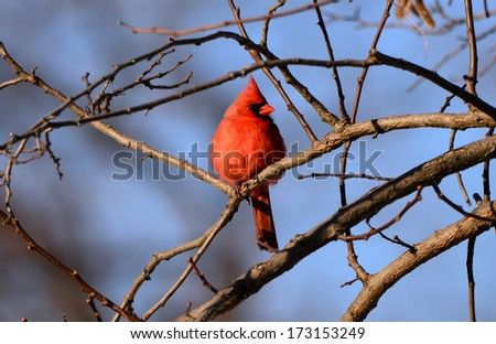 A stunning male Cardinal perched on a tree limb in Winter - stock photo
