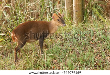 A stunning stag Muntjac Deer (Muntiacus reevesi) feeding on an island in the middle of a lake.