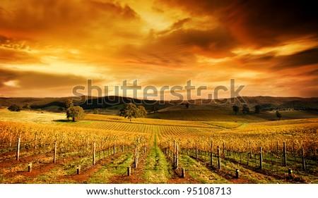 A stunning sunset over an autumn vineyard in South Australia - stock photo