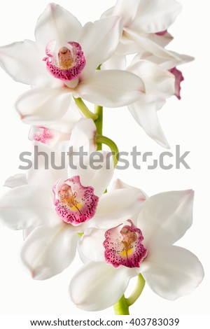 A stunning white orchid displays its beauty as the afternoon sunlight gently graces its petals. A pure white background has been added for copy space on this vertical format. - stock photo