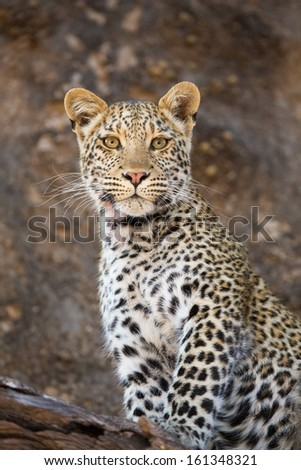 A stunning young leopard cub sitting in a tree looking straight at the camera - stock photo