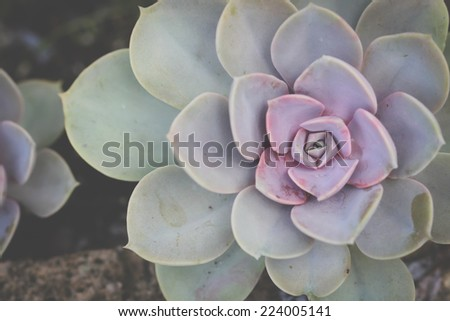 A succulent plant with a purple center. - stock photo