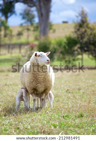 a suffolk sheep and two lambs - stock photo