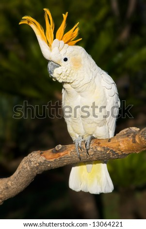 A sulphur-crested cockatoo with it's crest on display - stock photo