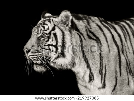 A sumatran tiger (a severely endangered species) isolated against black.
