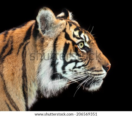 A Sumatran tiger portrait profile on black background.