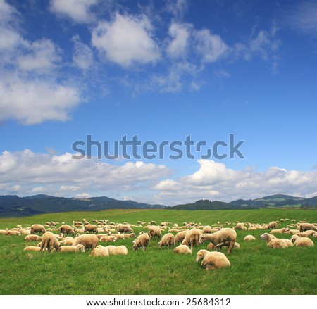 A Summer landscape and herd sheep in Poland - stock photo