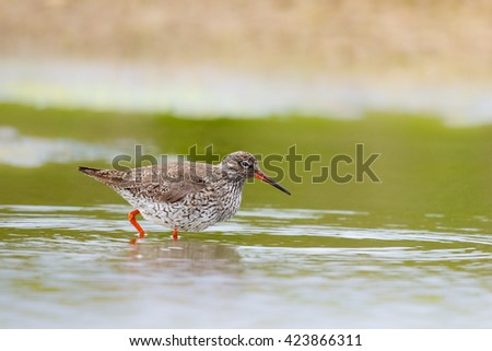 A summer plumage Common Redshank (Tringa totanus) wading in shallow water, against a blurred natural background, UK - stock photo