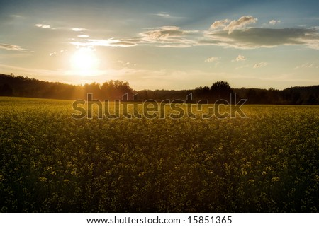A summer sunset over a canola field in Canada - stock photo
