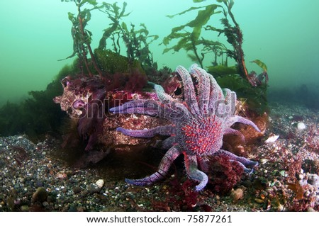 A sun flower sea star climbs a rock. - stock photo