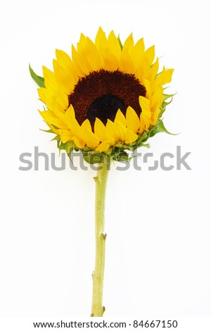 A sunflower against a white background - stock photo