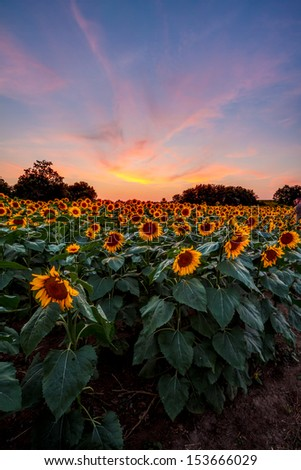 A sunflower field in Kansas with a colorful sunset behind it. - stock photo