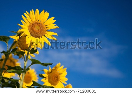 A sunflower (Helianthus annuus) against a blue sky.