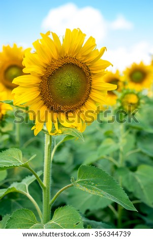 A sunflower in a sunflower field on a bright, cheerful morning.