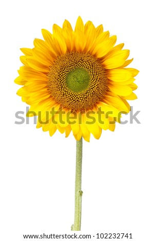 a sunflower isolated on white with clipping path
