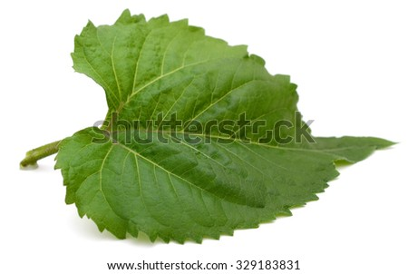 A sunflower leaf isolated