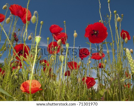 A sunny summer day in a Danish meadow full of blooming poppies. - stock photo