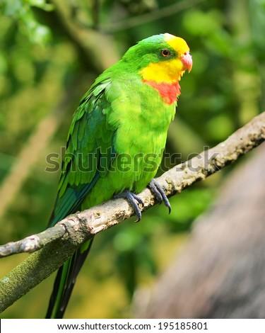 A Superb Parrot, also known as Barraband's Parrot, Barraband's Parakeet, or Green Leek Parrot - stock photo