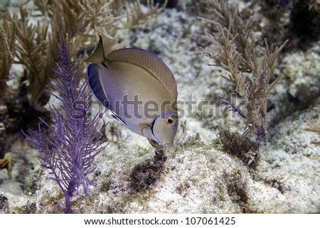 A surgeon fish foraging for food on an Atlantic coral reef in Key Largo, Florida inside the John Pennekamp State Park. - stock photo