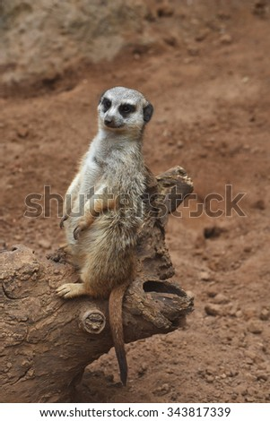 A suricate is sitting on the tree stem at the animal park.