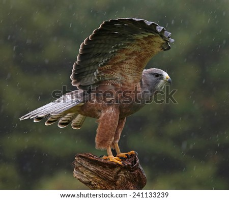A Swainson's Hawk (Buteo swainsoni) with wings spread in the air.  - stock photo