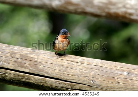 A swallow, colored in orange and blue, sitting on a fence