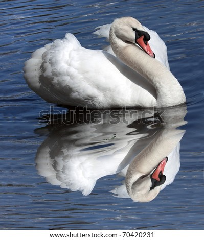 A swan against bright blue water - stock photo