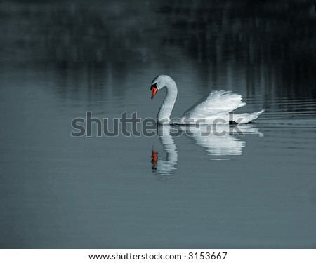 A swan floating on the lake - stock photo