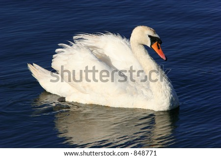 A swan floating on water.