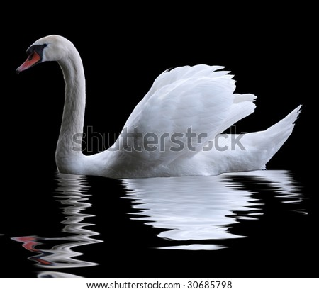 A swan isolated on black background - stock photo