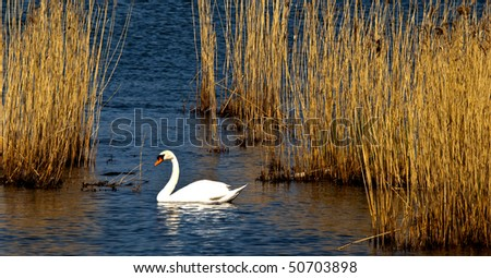 A swan swims in reed in the spring sun - stock photo