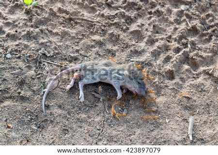 A swarm of ants was eating the corpses of a dead rat on the ground. - stock photo