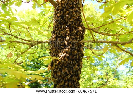 A swarm of bees on an oak tree - stock photo