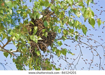 A swarm of bees sitting down on a branch of a birch tree - stock photo