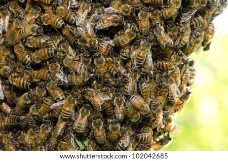 A swarm of European honey bees clinging to a tree - stock photo