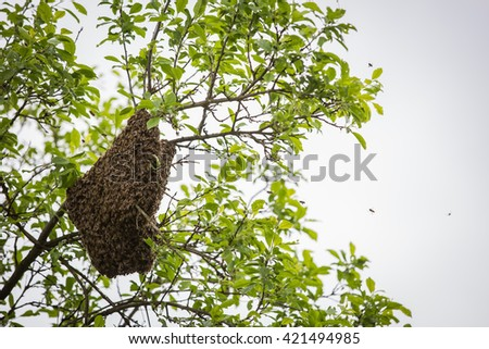 A swarm of honey bees clinging to a tree